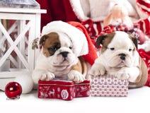 Engelsk bulldoggvalp Royaltyfria Bilder