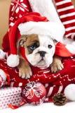 Engelsk bulldoggvalp Royaltyfri Bild