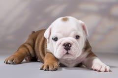 Engelsk bulldoggvalp Arkivbilder