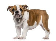 Engelsk bulldoggvalp (3 gamla månader) Royaltyfria Foton