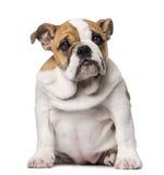 Engelsk bulldoggvalp (3 gamla månader) Fotografering för Bildbyråer