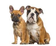 Engelsk bulldoggvalp och valpar för fransk bulldogg som sitter Arkivfoto