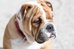 Engelsk bulldoggvalpstående Royaltyfri Fotografi