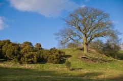 Engelsk bygd - en oaktree på den små kullen royaltyfria foton