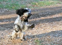 Engelsk Cocker Spaniel hund som spelar med en boll royaltyfri bild