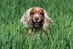 Engelsk cockerspaniel för lycklig ung hund, medan köra till dig arkivbild