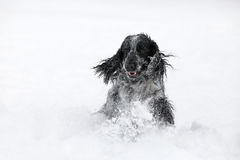 Engelsk cockerspanielhund som spelar i snövinter Royaltyfri Fotografi