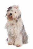 engelsk gammal sheepdog royaltyfri bild