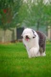 engelsk gammal sheepdog arkivbild