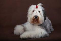engelsk gammal sheepdog royaltyfria bilder