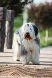 engelsk gammal sheepdog arkivfoton
