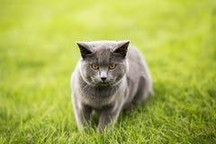 Engelsk kort blå katt arkivbilder