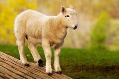 engelsk lamb Arkivbilder