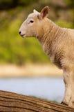 engelsk lamb Arkivbild