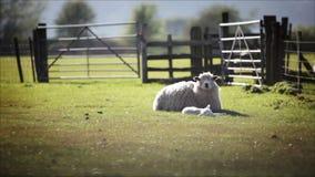 Engelsk lantlig lantgårdplats, lamm och tacka arkivfilmer