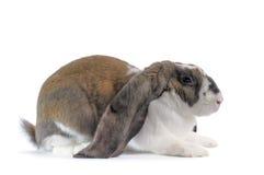 Engelsk Lop-kanin royaltyfri fotografi