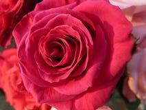 Engelsk röd ros (1) Royaltyfri Fotografi