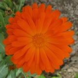 Engelsk ringblomma - blomma Royaltyfria Bilder
