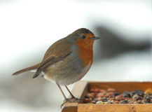engelsk robin Royaltyfria Foton