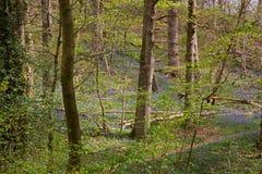 Engelsk skogsmark i vår Arkivfoton