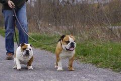Engelsk tjurhundkapplöpning som går ut Arkivfoton