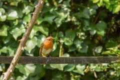 Engelsk trädgårdrödhake fotografering för bildbyråer