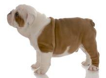 engelsk valpstanding för bulldogg Royaltyfri Fotografi