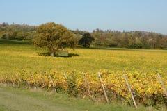 Engelsk vingård i höst Arkivbild
