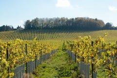 Engelsk vingård i höst Royaltyfri Bild