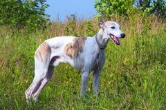 Engelsk vinthund på en grön äng arkivbilder