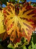 Engelska Autumn Vine Royaltyfri Bild