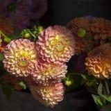 Engelska bötfäller till salu dahlior för speciala tillfällen: bröllop födelsedagar, data Royaltyfri Foto