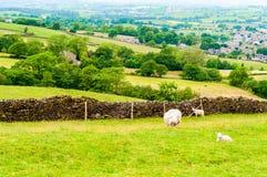 Engelska betande får i bygd Arkivfoto
