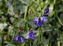 Engelska blåklockor Arkivfoto