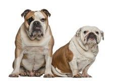 Engelska bulldoggar, 5 gammala år Arkivbilder