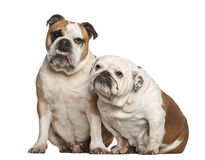 Engelska bulldoggar, 5 gammala som år sitter Royaltyfri Foto