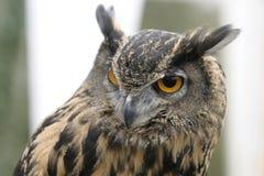 Engelska Eagle Owl Royaltyfria Bilder