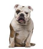 6 engelska gammala år för bulldogg Arkivfoto