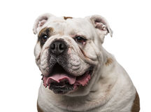 6 engelska gammala år för bulldogg Royaltyfri Bild