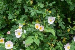 Engelska lösa rosor med det lilla gröna krypet på den blommaRosa caninaen Arkivbild