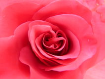 Engelska Rose Red (1) Royaltyfria Bilder