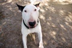 EngelskaBull terrier är den vita hunden rasande och ilsken i trädgårds- utomhus-, closeup Den vita bull terrier hunden går och se royaltyfria foton