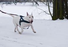 EngelskaBull terrier bärande sele i vinter Fotografering för Bildbyråer