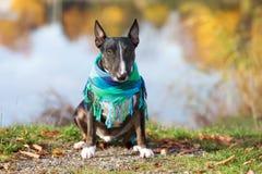 Engelskabull terrier hund som poserar i höst Royaltyfria Foton