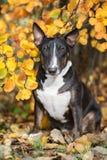 Engelskabull terrier hund som poserar i höst Arkivfoto