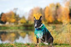 Engelskabull terrier hund som poserar i höst Royaltyfri Bild