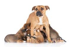 Engelskastaffordshire bull terrier hund som matar hennes valpar Arkivfoton