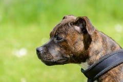 Engelskastaffordshire bull terrier valp Arkivbilder