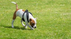 Engelskastaffordshire bull terrier valp Arkivfoto