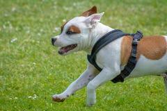 Engelskastaffordshire bull terrier valp Royaltyfria Foton